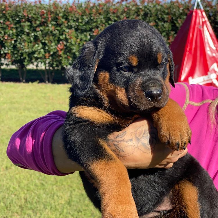 TOP QUALITY Puppy Rottweiler For Sale In Sweden