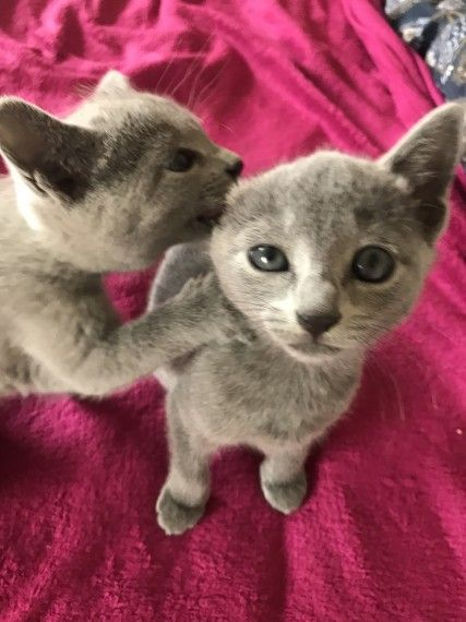 Russian Blue Cats For Sale Dayton Oh 269151 Petzlover