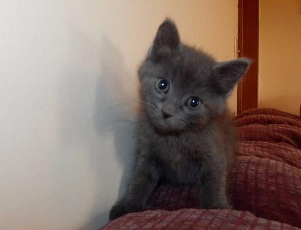 Russian Blue Cats For Sale   Atlanta, GA #291641   Petzlover