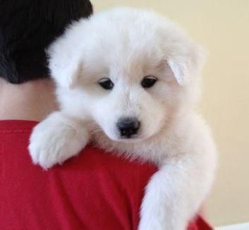 Samoyed Puppies For Sale In Michigan - Local Puppy Breeders