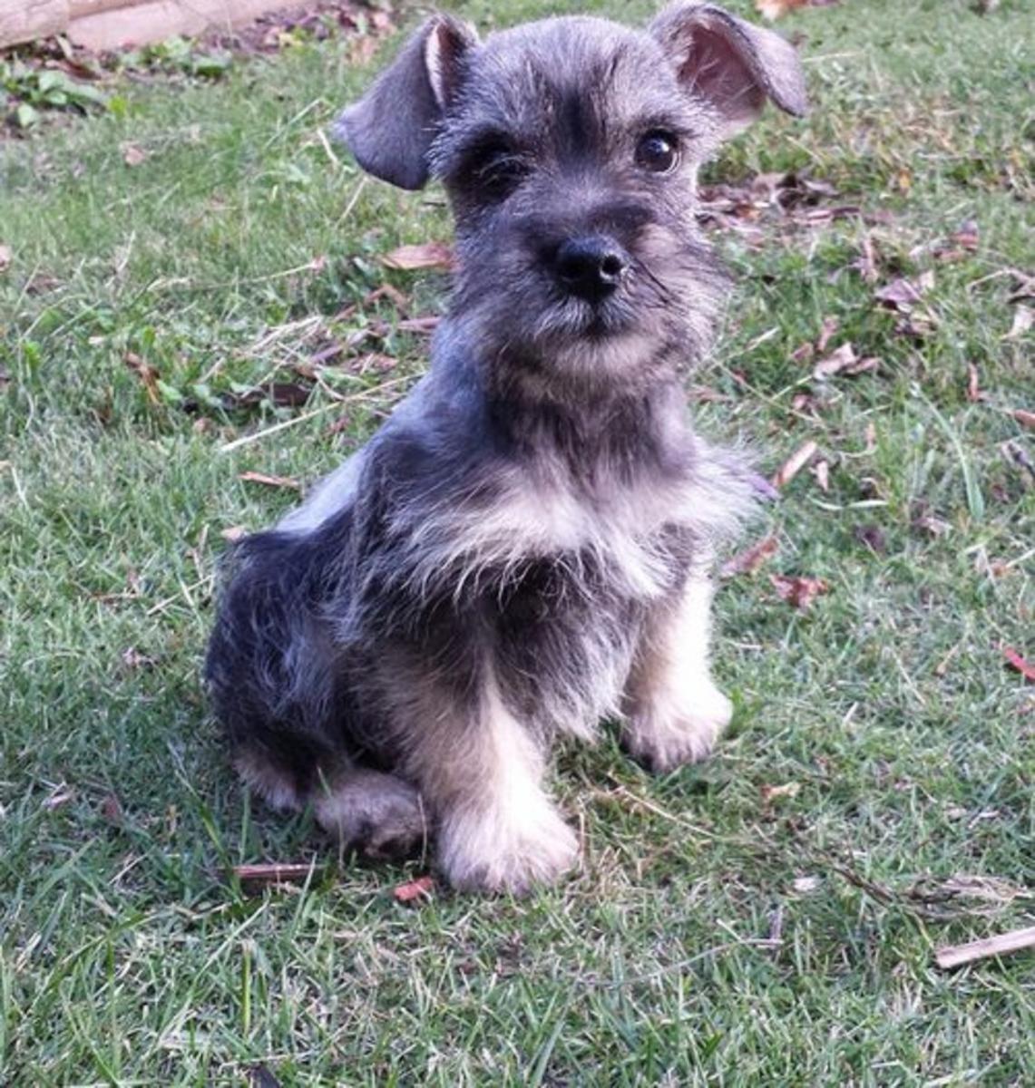 Schnauzer Puppies For Sale Pierre Sd 120730 Petzlover