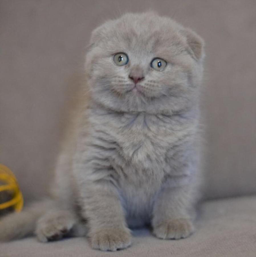 Scottish Fold Cats For Sale In Michigan