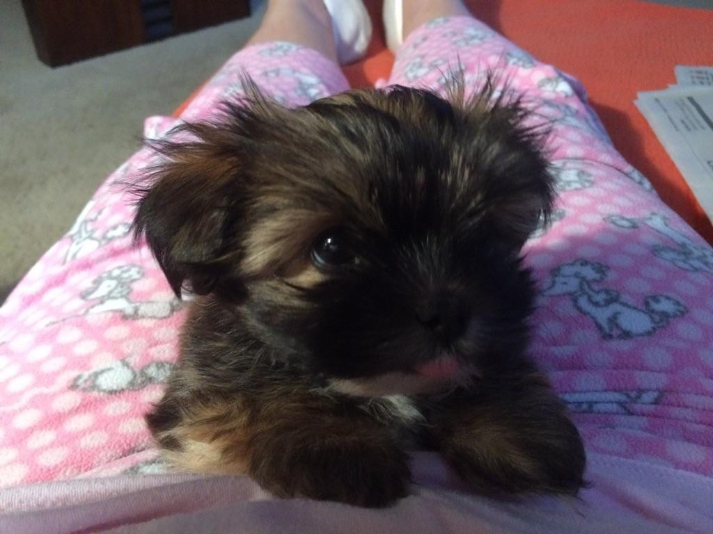 Shih Tzu Puppies For Sale Red Bud Il 184966 Petzlover