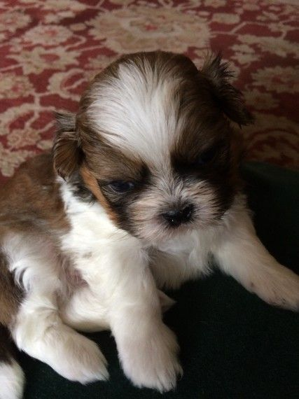shih tzu breeders in md shih tzu puppies for sale silver spring md 218558 8812