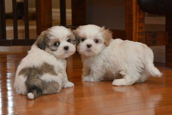 Shih Tzu Puppies For Sale Ohio Drive Southwest Dc 231804