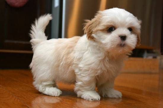 shih tzu puppies for sale under 400 shih tzu puppies for sale central sacramento ca 254502 6753