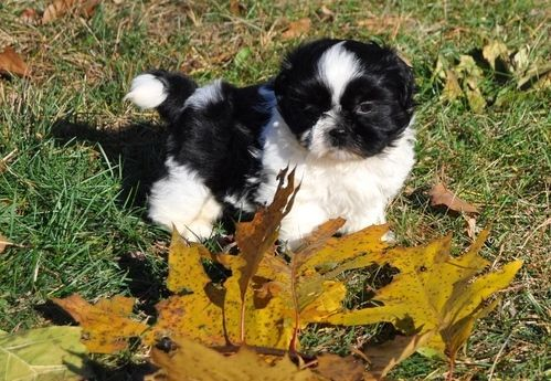 shih tzu puppies for sale in philadelphia shih tzu puppies for sale northeast philadelphia pa 259228 5944