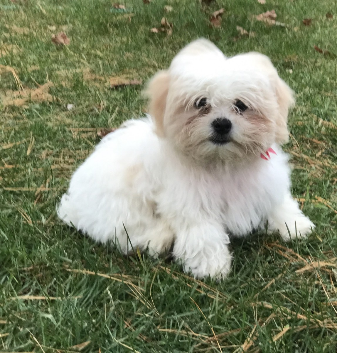 shih tzu puppies for sale in michigan shih tzu puppies for sale cadillac mi 284795 petzlover 9968