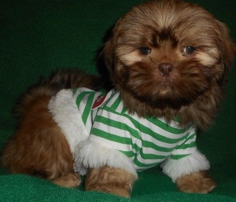 shih tzu for sale chicago shih tzu puppies for sale chicago il 287981 petzlover 2181