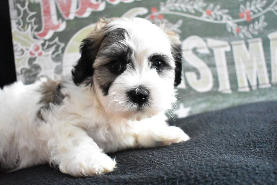 shih tzu breeders in virginia shih tzu puppies for sale dulles va 288184 petzlover 2350