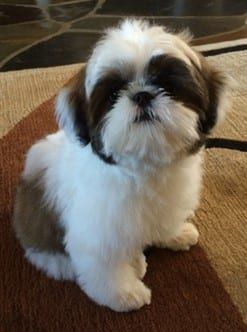 shih tzu for sale in arkansas shih tzu puppies for sale conway ar 288271 petzlover 7661