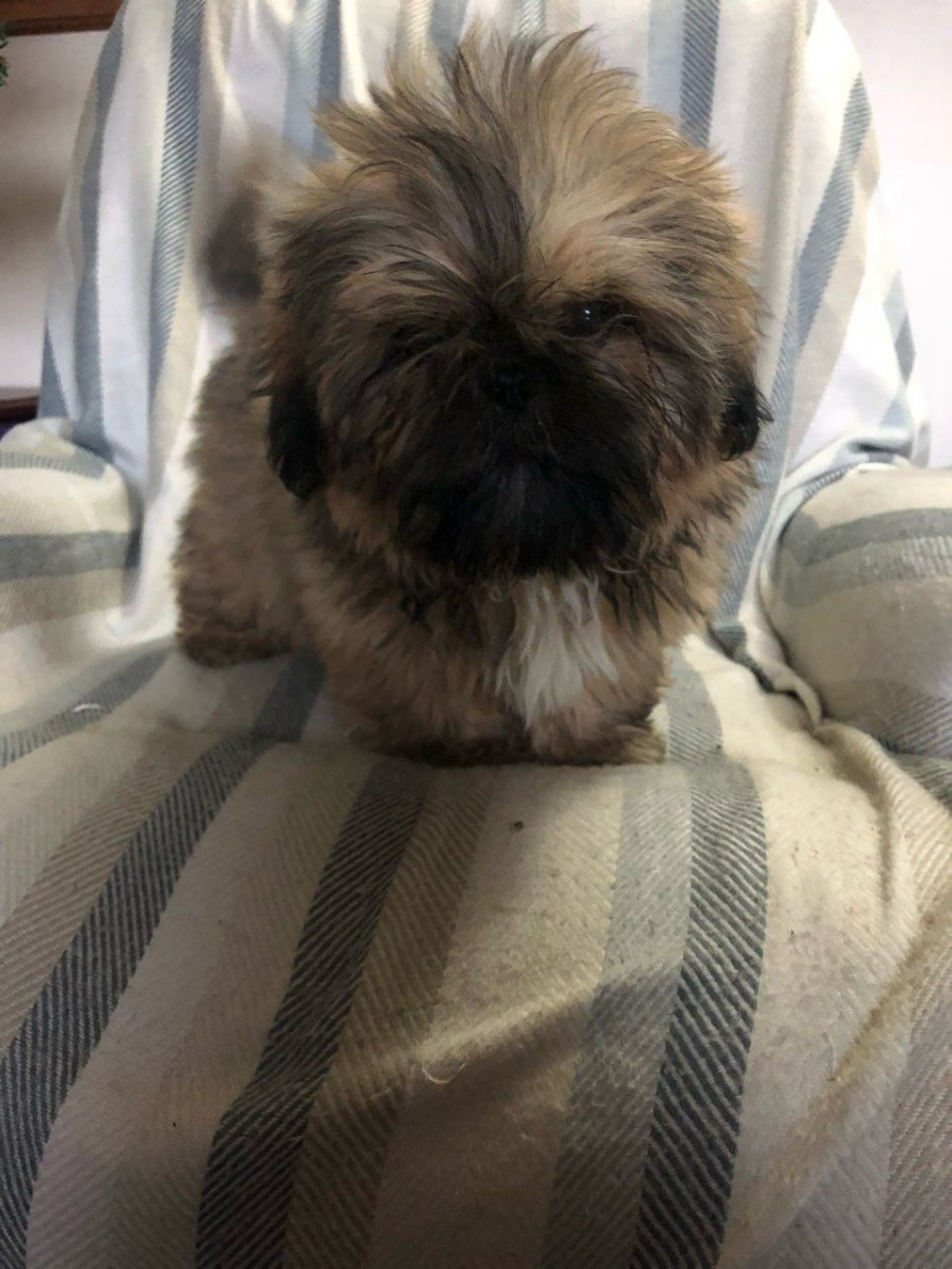shih tzu puppies for sale in philadelphia shih tzu puppies for sale philadelphia pa 288353 8301