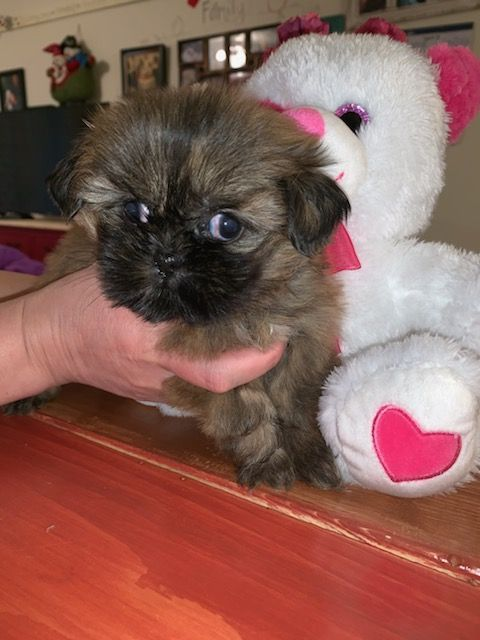 shih tzu breeders in ky shih tzu puppies for sale louisville ky 288925 1425