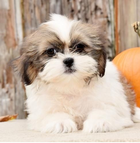 shih tzu puppies for sale under 400 shih tzu puppies for sale cleveland oh 291395 7244