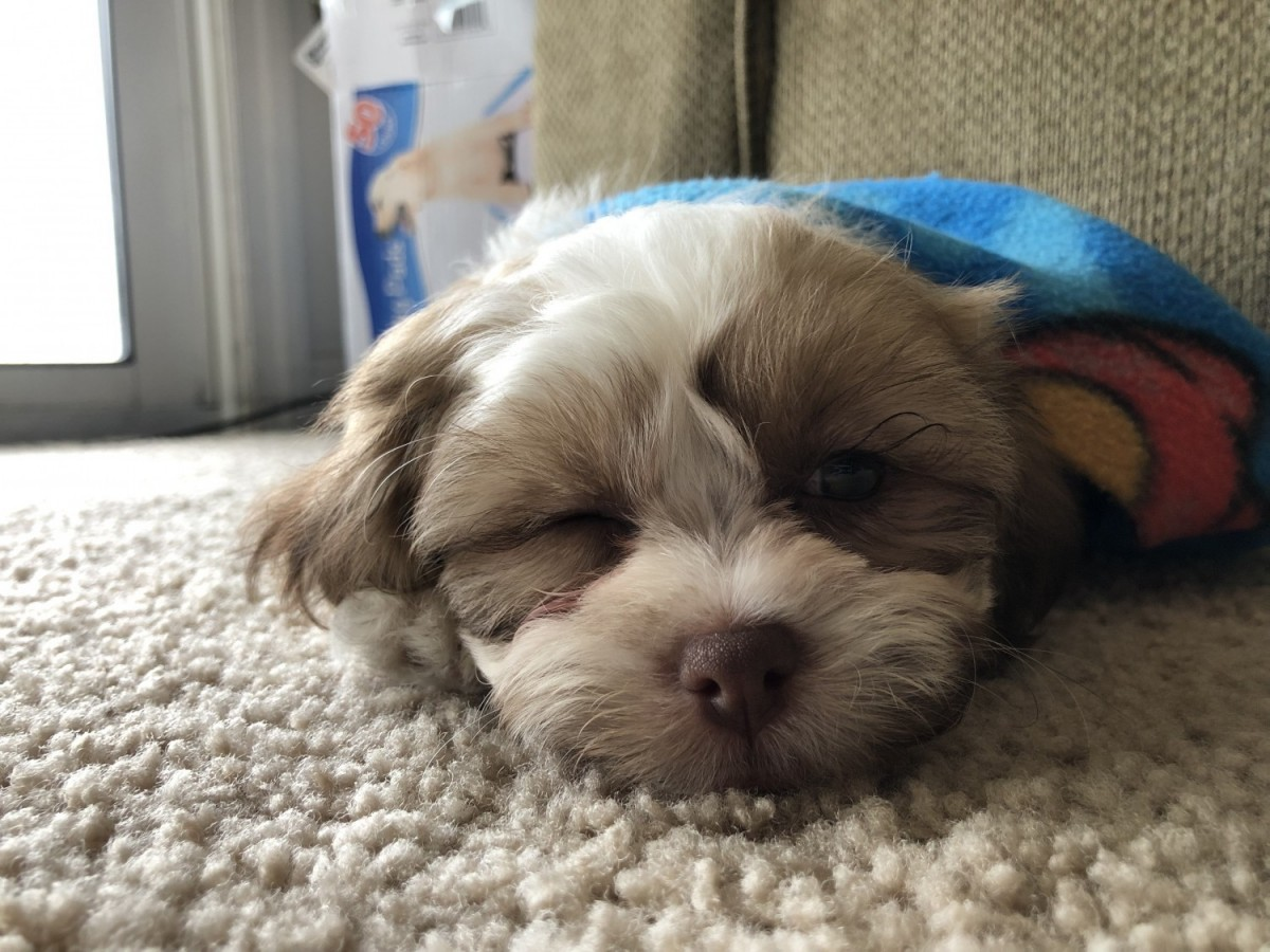 shih tzu puppies for sale under 400 shih tzu puppies for sale miamisburg oh 294691 3125