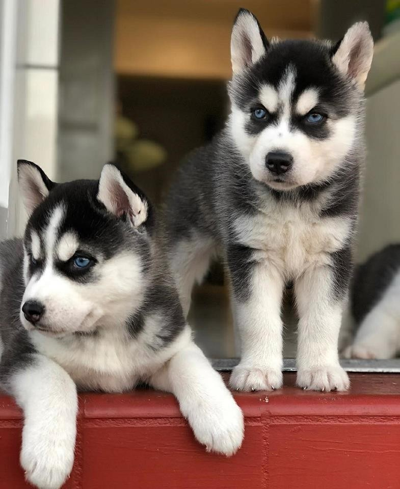 siberian husky puppies for sale baltimore md 273823. Black Bedroom Furniture Sets. Home Design Ideas