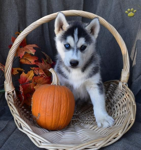 husky puppies for sale in texas siberian husky puppies for sale dallas tx 288194 9122