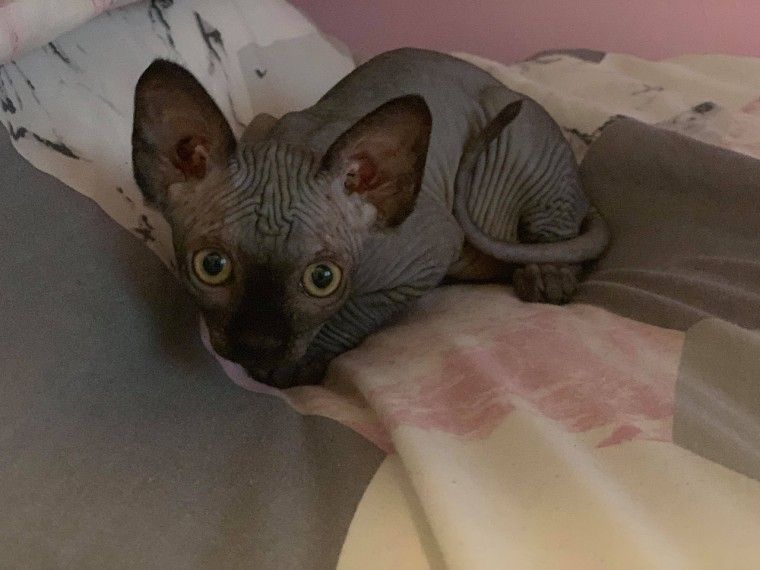 sphynx kittens for sale in michigan
