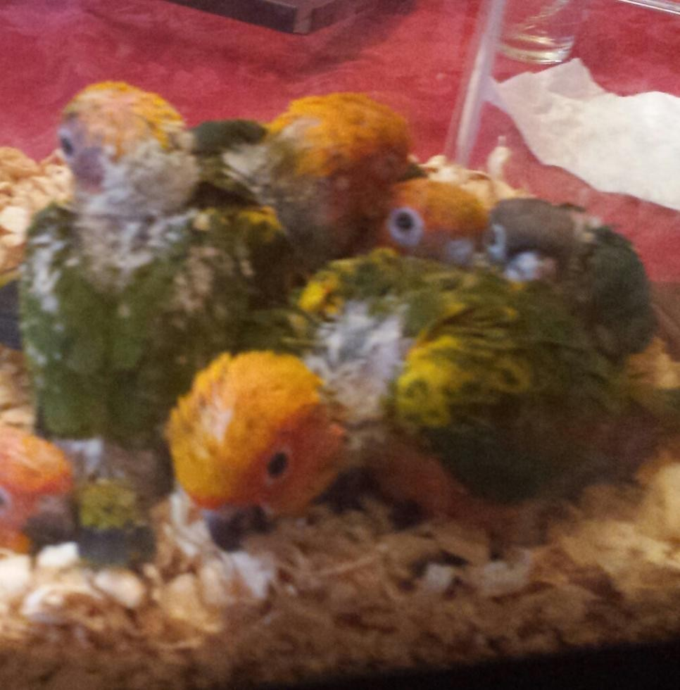 conures for sale rochester ny