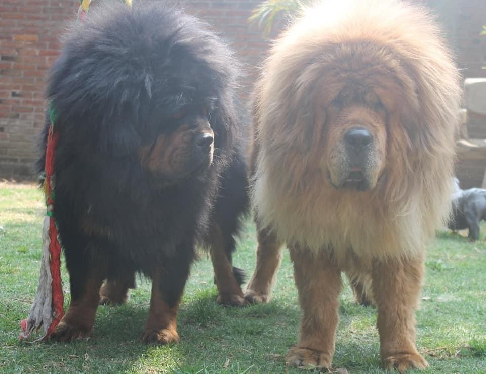 mastiff puppies california