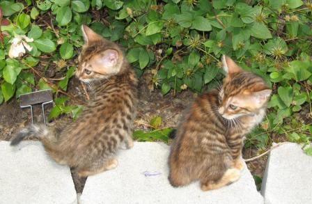 Toyger Cats For Sale | Orlando, FL #142235 | Petzlover