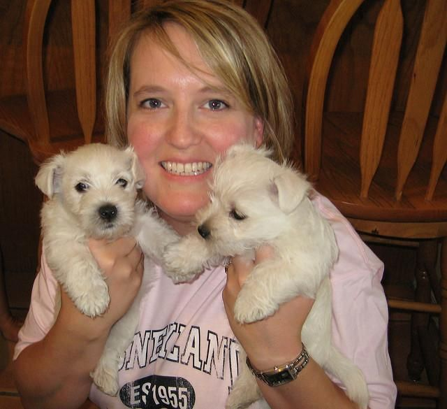 Kittens Lincoln Ne: West Highland White Terrier Puppies For Sale
