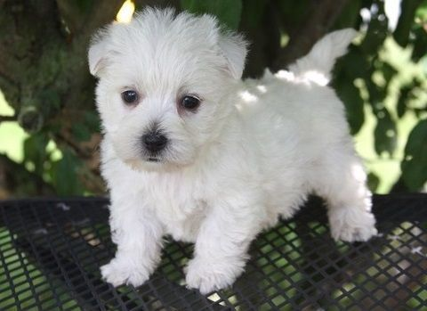 West Highland White Terrier Puppies For Sale | Bakersfield, CA #161058