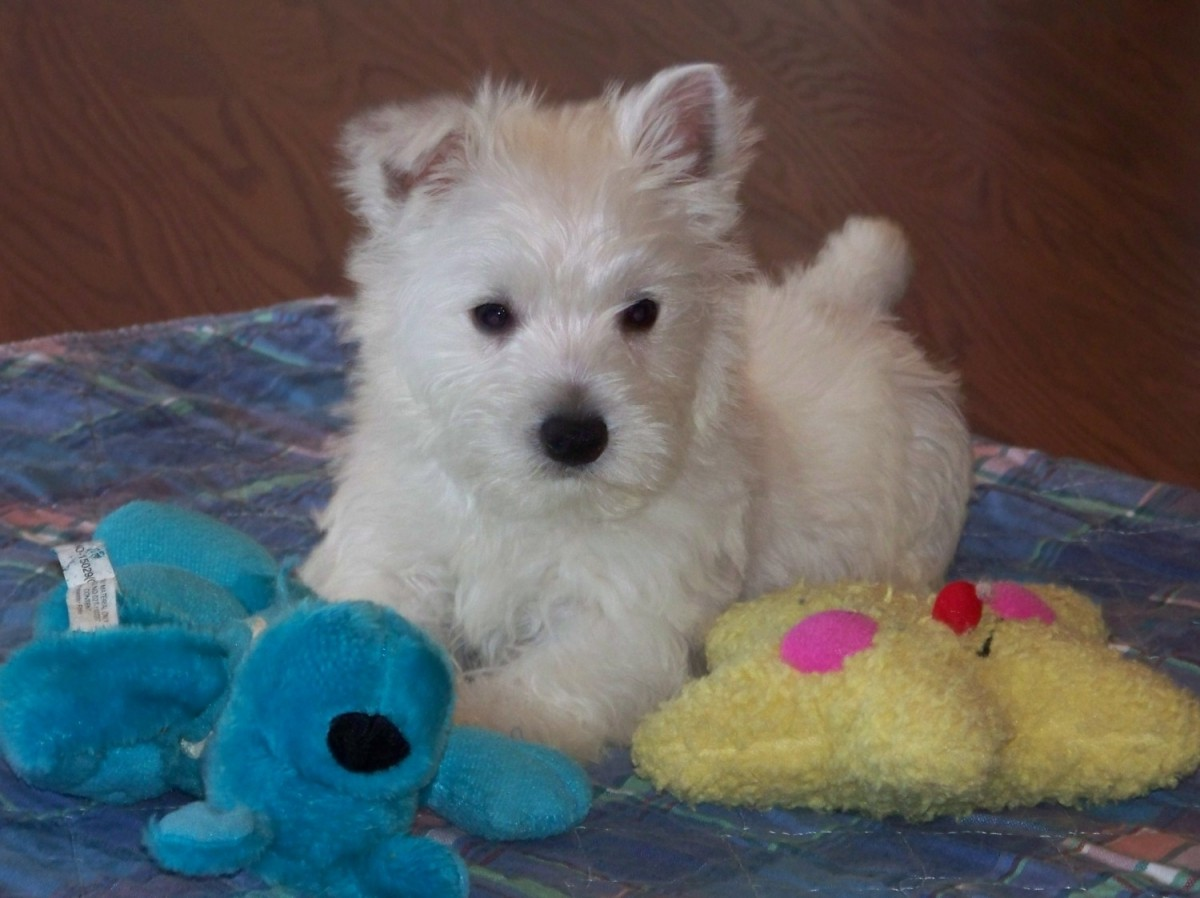 West Highland White Terrier Puppies For Sale | Norwich, CT ...