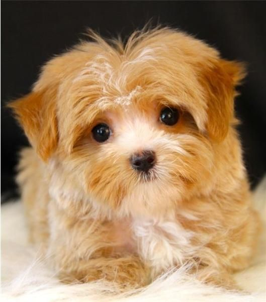 yorkie poo for adoption yorkiepoo puppies for sale san antonio tx 156330 8111