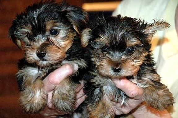 yorkie puppies for sale sacramento ca yorkshire terrier puppies for sale sacramento ca 287369 8969