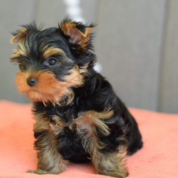 yorkie oklahoma yorkshire terrier puppies for sale oklahoma city ok 287803 8298