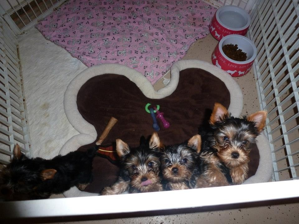 yorkie breeders in colorado yorkshire terrier puppies for sale denver co 289517 3024