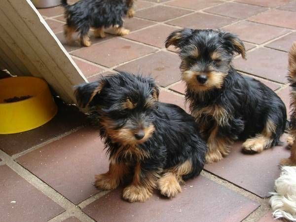 yorkie puppies for sale in richmond va yorkshire terrier puppies for sale richmond va 290668 8328
