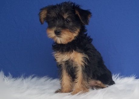 yorkshire terrier for sale mn yorkshire terrier puppies for sale minneapolis mn 297235 2180