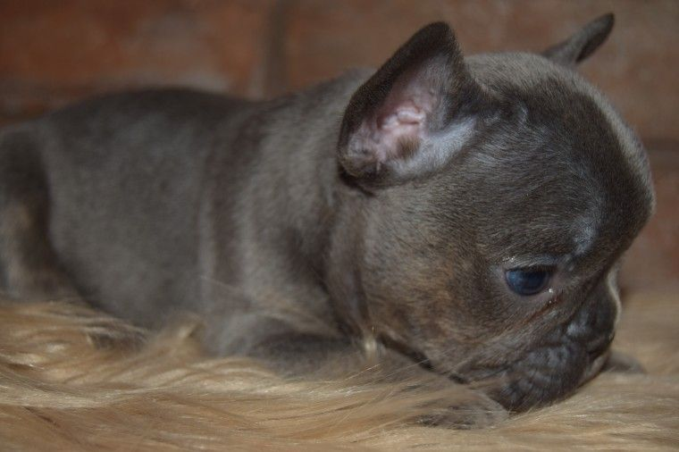 french bulldog phoenix french bulldog puppies for sale phoenix country club az 3020