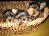 Abruzzenhund Puppies for sale in Alvaton, KY 42122, USA. price: NA