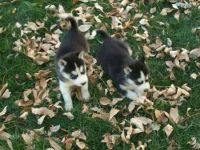 Abruzzenhund Puppies for sale in Chicago, IL, USA. price: NA