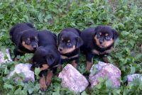 Abruzzenhund Puppies for sale in Springfield, IL, USA. price: NA