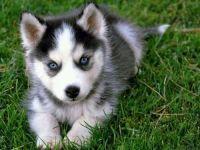 Abruzzenhund Puppies for sale in Dallas, TX, USA. price: NA