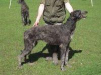 Abruzzenhund Puppies for sale in Bethel, DE, USA. price: NA