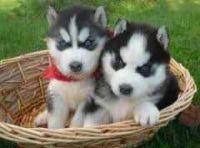 Abruzzenhund Puppies for sale in Albuquerque, NM, USA. price: NA