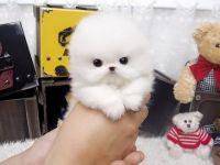 Abruzzenhund Puppies for sale in Orlando, FL, USA. price: NA