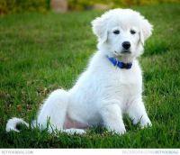 Abruzzenhund Puppies for sale in Birmingham, AL, USA. price: NA