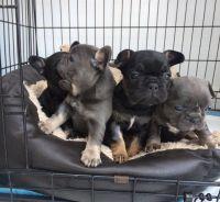 Abruzzenhund Puppies for sale in Batesburg-Leesville, SC, USA. price: NA