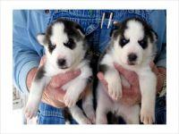 Abruzzenhund Puppies for sale in Dayton, OH, USA. price: NA