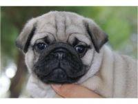 Abruzzenhund Puppies for sale in Denver, CO, USA. price: NA