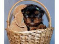 Abruzzenhund Puppies for sale in Dubois, WY, USA. price: NA