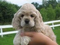 Abruzzenhund Puppies for sale in Louisville, KY, USA. price: NA