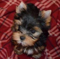 Abruzzenhund Puppies for sale in Washington, DC, USA. price: NA