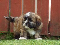 Abruzzenhund Puppies for sale in Houston, TX, USA. price: NA
